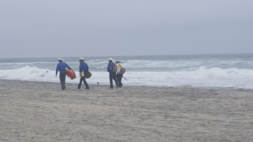 With the loss of natural habitat the feral mariachi have taken to the beach.
