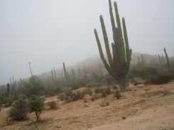 Large pipe cactus standing in fog