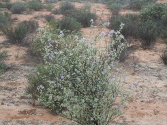 These bushes were flowering across the desert